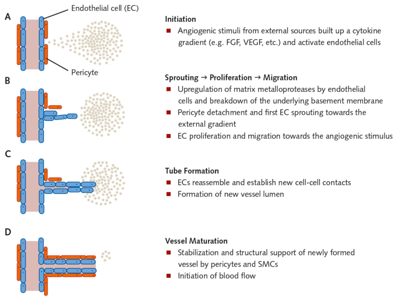 Angiogenesis Assay