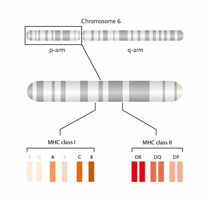 Gene regions encoding HLA molecules