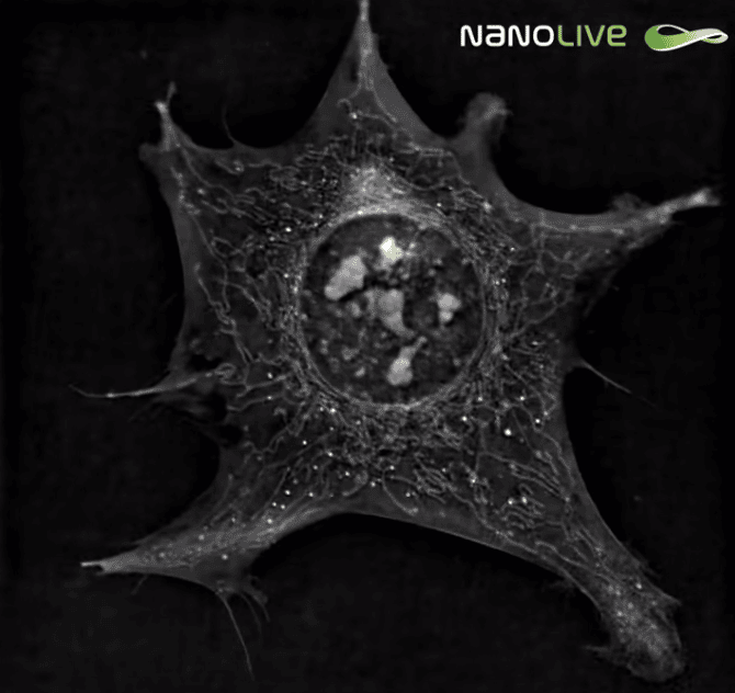 Preadipocytes: live cell imaging