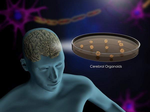 PromoCell - cell culture - brain organoids