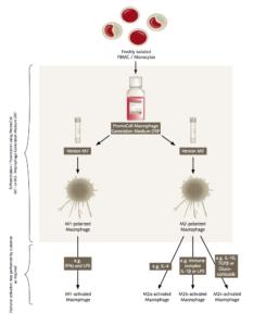 Infografic-M1-M2-Makrophages