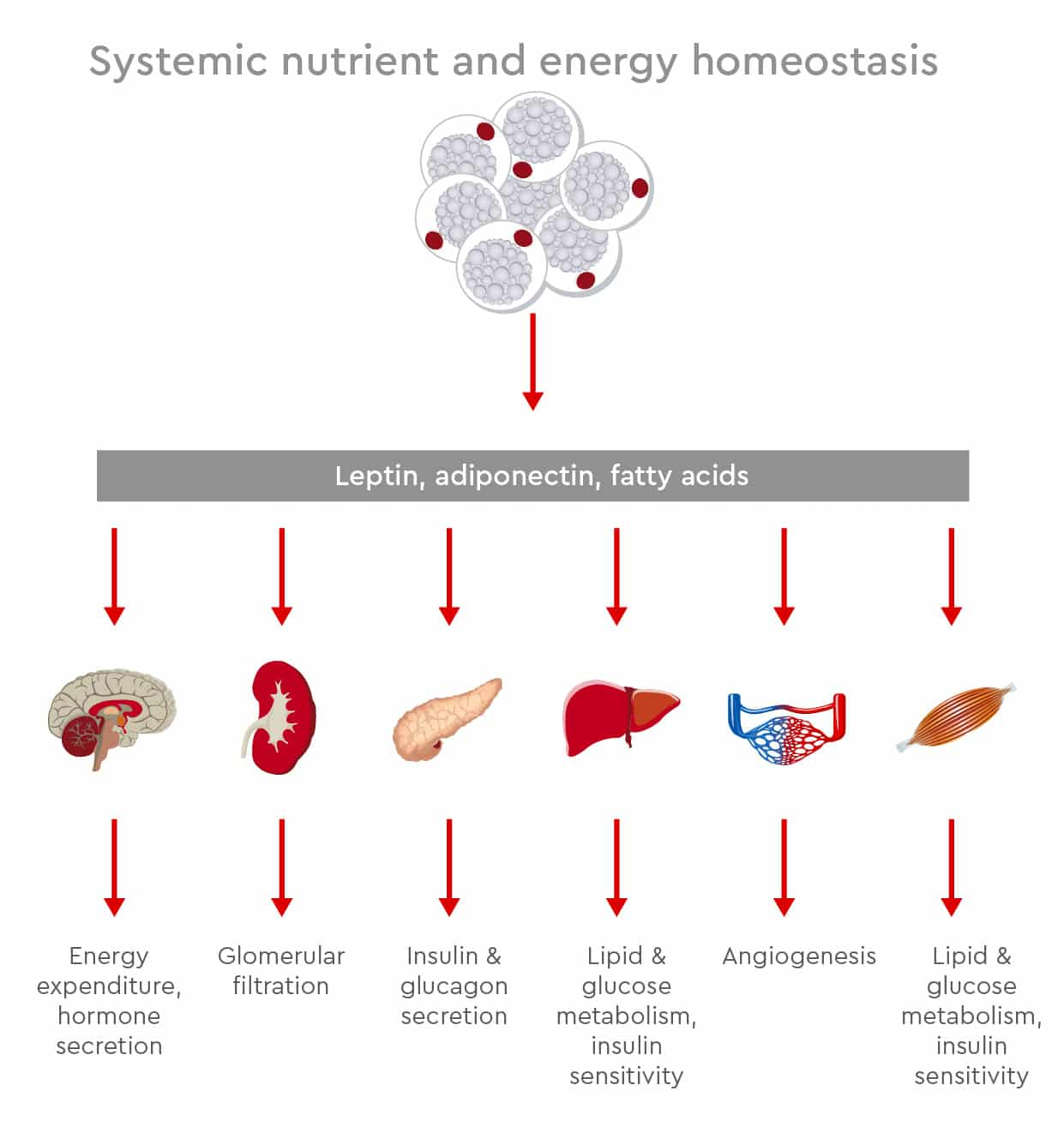 systemic nutrient and energy homeostasis