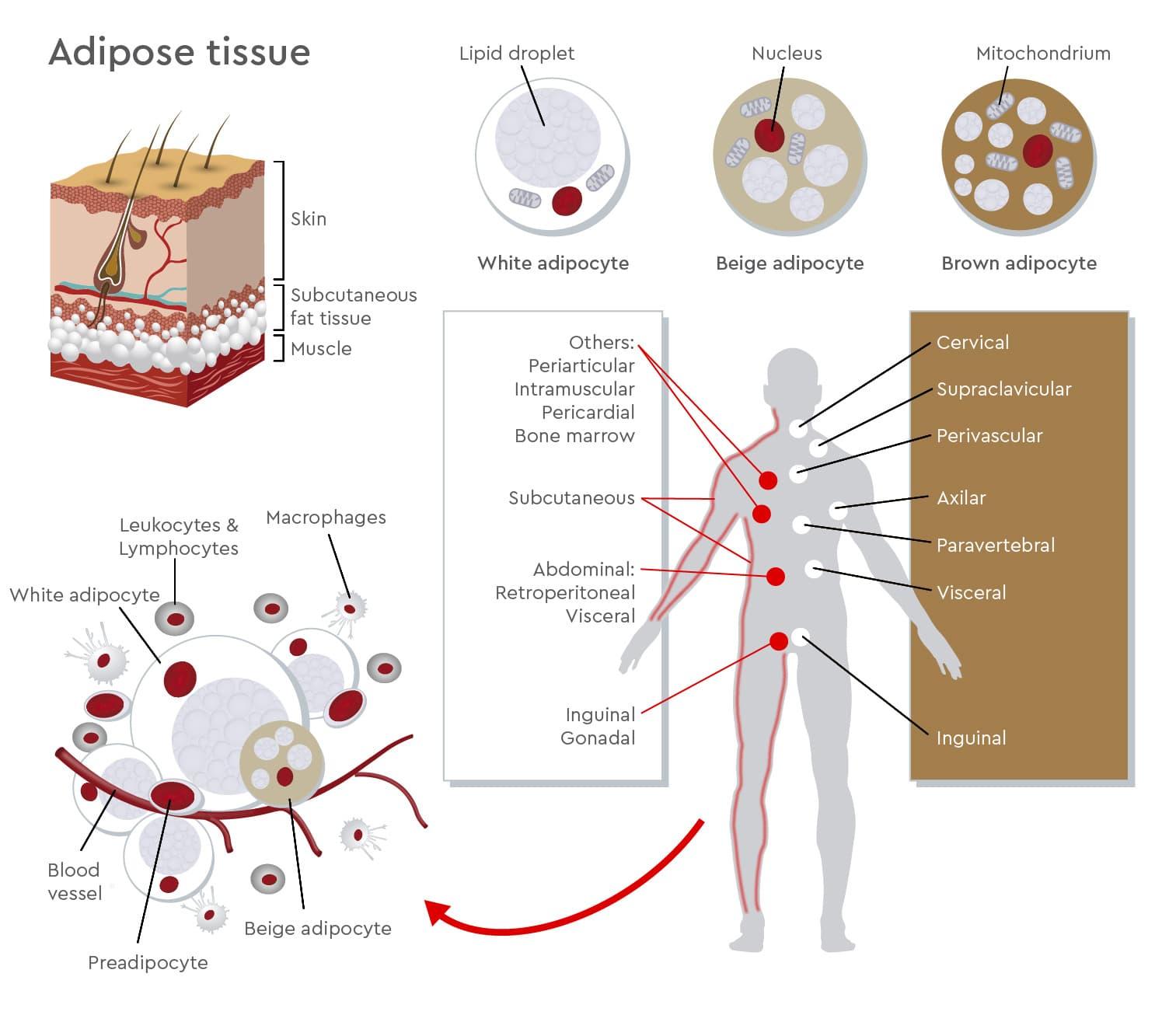 adipocyte tissue