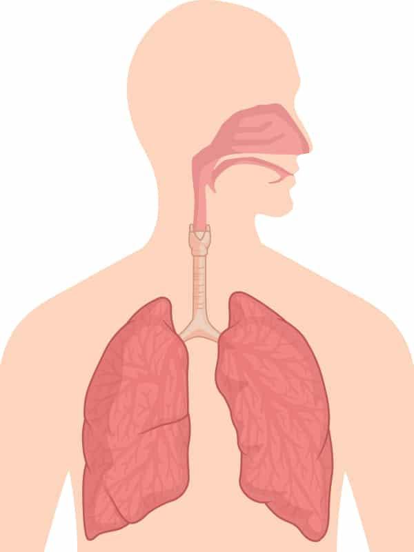 Human respiratory tract