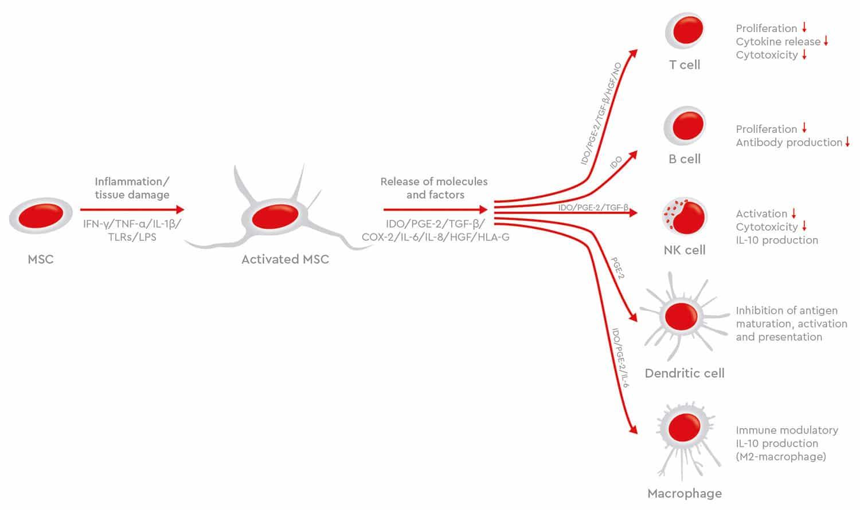 MSC immunomodulatory effects